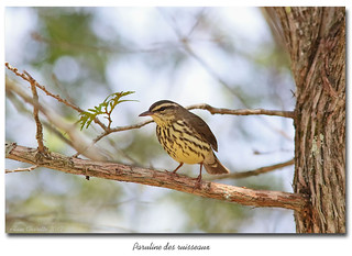Paruline des ruisseaux B / Northern Waterthrush 153A8758
