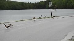 Brant and Canada Goose (Rutland County Audubon) Tags: 2017 spring vermont kentpond killington goose brant rutlandcountyaudubon rutlandcounty