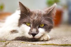 "Named ""Teemo"" (mikhailkorzhalov) Tags: canon takumar 50mm 5014 vintagelenses manual manualfocus manuallenses animal animals animalportrait pets catsportrait portrait cat cats m42 outdoors"