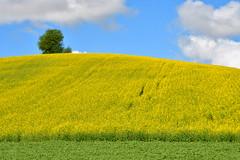 Yellow hill (luporosso) Tags: nature natura naturalmente naturaleza nikond500 nikonitalia nikonclubit giallo yellow colline collina hill hills country countryside campagna campi albero tree cielo sky