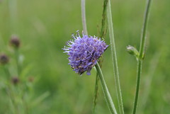 Succisa pratensis Chambers Farm Wood July 2016 (Aidehua2013) Tags: succisa pratensis dipsacales flower plant devilsbitscabious chambersfarmwood lincolnshire england uk dipsacaceae