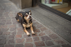 Q1009187 (sswee38823) Tags: italy2017 leica leicam leicamtype240 leicacamera lucca luccaitaly europe vaction travel street dog chihuahua littledog portrait portraits streetportrait italy tuscana tuscany aposummicron50mmf2 aposummicron aposummicron50 aposummicronm1250asph apo leicaapo502 leicaaposummicronm50mmf2asphfle leicaaposummicronm50mmasph leicaaposummicronm50mmf2asph 50mm 50 50aposummicron leica50apo summicron50mmapo summicron50mm summicron photography photograph photo seansweeney