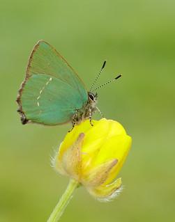 Green Hairstreak Callophrys rubi