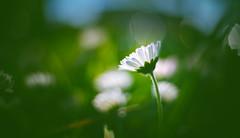 Helios 33 - Spring flowers series - 1 (Dhina A) Tags: sony a7rii ilce7rm2 a7r2 kmz helios 33 35mm f2 vintage moviecamera lens cine swirl swirly bokeh spring flowers daisy