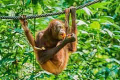 BOR_9409 (lucvanderbiest) Tags: orangoetang borneo maleisië sabah sepilok orangoetangrehabilitationcenter