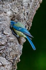 03_PeupleDeLair_4056 (darry@darryphotos.com) Tags: 7020028 animaux cyanistescaeruleus deuxsevres melle melle79 nikon oiseau paruscaeruleus animal bird mesangebleue nichée nourrissage oiseaux oiseauxdujardin ornithologie