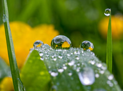 Buttercup in rain drops (Anthony White) Tags: wimbornesaintgiles england unitedkingdom gb macromondays macro sony30mmmacro dorset plant nature buttercups rain bubbles