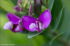 Polygala Myrtifolia (Hans van Bockel) Tags: nikon d7200 105mm raw nef bridge lightroom photoshop bloesem bloei voorjaar kleur hansvanbockel bloemen macro closeup polygala myrtifolia