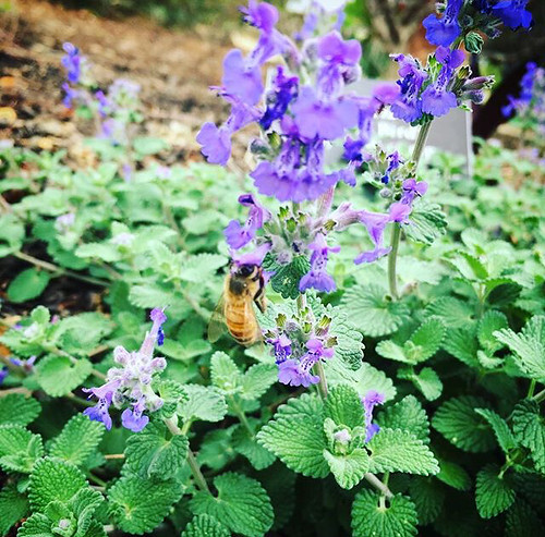 bee catmint
