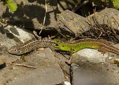sand lizard courtship (roly2008.) Tags: sandlizard lizard reptile courtship biting dorset wildlife canon 1dmkiv 100400mmmkii
