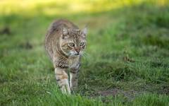 cat (17) (Vlado Ferenčić) Tags: kittens kitty animals animalplanet cats catsdogs novovirje podravina hrvatska croatia hunters vladoferencic nikond600 vladimirferencic sigma15028macro