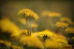 field of gold (s@ssyl@ssy) Tags: doubleexposure incamera dandelions yellow golden warmth fieldfullofthem slightlytextured