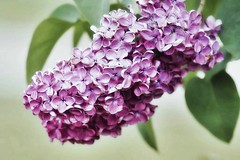 Purple touch (mamietherese1) Tags: magicunicornverybest ngc coth phvalue world100f coth5
