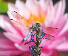 Blue dasher in the water lilies (Vicki's Nature) Tags: bluedasher male small dragonfly pink waterlily flower blossom purple pickerelweed flowers dof bokeh pond japanesepond gibbsgardens georgia vickisnature canon s5 8325