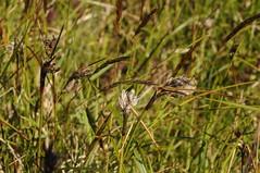 Das Wollgras blüht - Schmalblättriges Wollgras (Eriophorum angustifolium); Norderstapel, Stapelholm (9) (Chironius) Tags: stapelholm norderstapel schleswigholstein deutschland germany allemagne alemania germania германия niemcy moor sumpf marsh peat bog sump bottoms swamp pantano turbera marais tourbière marécageuse commeliniden süsgrasartige poales cyperaceae sauergrasgewächse wollgräser wollgras eriophorum gras gräser herbe graminées grass grasses erba трава травы blüte blossom flower fleur flor fiore blüten цветок цветение