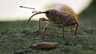 Rüsselkäfer (Curculio sp.?) Ein winziger Pinselfüßer (Polyxenus lagurus ) wollte auch noch unbedingt mit auf das Foto