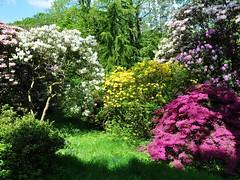 Clyne In Bloom Early May 2017 (11) (goweravig) Tags: azaleas flowers blooms clynegardens clyne swansea mayals wales uk parks gardens rhododendrons