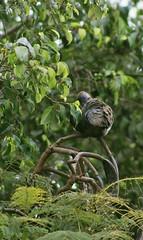 IMG_2816 (JennaF.) Tags: animal ave fauna jardin de horacio arboles ramas universidad antonio ruiz montoya lima perú uarm cuculi