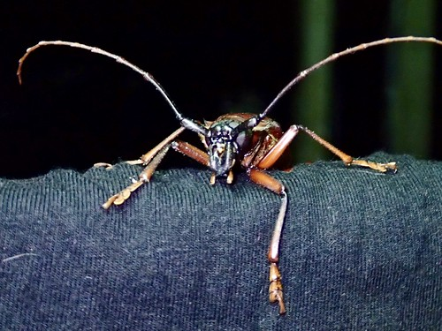 Dorysthenes buqueti (sugarcane longhorn stemborer) is a species of longhorn beetles of the subfamily Prioninae.