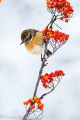 tarabilla (barragan1941) Tags: aves cremenes fauna pajaros tarabilla