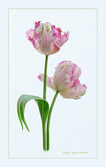 Apricot Parrot (loraine.french57) Tags: tulip tulipa apricotparrot flower stem leaves