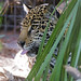 Jaguar showing tongue!