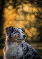 all that glitters ain´t gold (juhwie.foto - PROJECT: LEIDENSCHAFT-LICH-T) Tags: gold aussie australian australienshepherd dogs portrait pentax k1 teampentax pentaxart animal ricohimaging