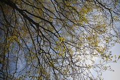 Junge Blätter und Blüten der Buche (Fagus sylvatica); Bergenhusen, Stapelholm (54) (Chironius) Tags: stapelholm bergenhusen schleswigholstein deutschland germany allemagne alemania germania германия niemcy grün rosids fabids buchenartige fagales buchengewächse fagaceae fagoideae buchen baum bäume tree trees arbre дерево árbol arbres деревья árboles albero rotbuche faia kayın beuken бук bok árvore ağaç boom träd fagus blüte blossom flower fleur flor fiore blüten цветок цветение geg