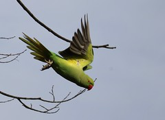 These colorful parrots are everywhere in central London! (avilacats) Tags: