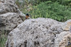 Black Redstart (katyarud) Tags: blackredstart hermon israel phoenicurusochrurosgibraltariensis горихвосткачернушка хермон птицы חכליליתסלעים חרמון ישראל