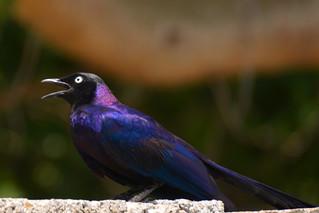 Ruppell's Starling Singing
