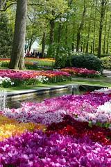 dazzling tulips (jehazet) Tags: keukenhof park tulpen tulips flowers jehazet