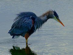 Shaking Great Blue Heron-Esquimalt Lagoon. (david byng) Tags: esquimaltlagoon birds spring 2017 beach britishcolumbia vancouverisland pacificocean victoria colwood canada ca heron