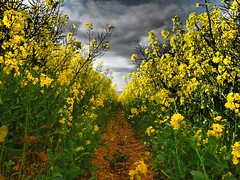 Lost in a Field (RS400) Tags: planets plants rapeseed oil fiel art yellow cool wow amazing olympus green natural landscape photography bristol sky clouds farmer farming outside lost uk southwest
