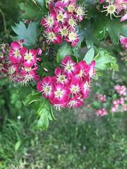dog walking phototgrpahy (zarapilley) Tags: flowers dandylions pink purple green wishingflower focus dogwalk iphone phototgraphy