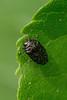 Der gemeine Zwergprachtkäfer (planetvielfalt) Tags: auenwald buprestidae coleoptera elateriformia polyphaga trachyinae leipzigrückmarsdorf sachsen deutschland