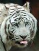 white tiger Amersfoort JN6A2254 (joankok) Tags: tiger tijger wittetijger whitetiger bengaalsetijger bengaltiger amersfoort kat cat asia azie mammal zoogdier dier animal
