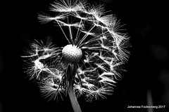 Pusteblume schwarz weiss (grafenhans) Tags: löwenzahn pusteblume sony alpha 68 a68 ilce schwarz weiss black white blumen tamron 2590 macro makro