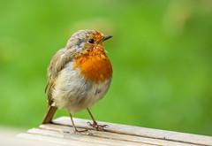 Young Robin (paulapics2) Tags: robin bird closeup nature animal garden europeanrobin robinredbreast erithacusrubella sweet cute feathers canoneos5dmarkiii canonef70300mmf456lisusm