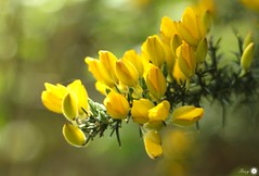 Mellow yellow (Trayc99) Tags: yellow gorse flowers floral beautiful nature beautyinnature bokeh bright
