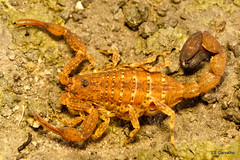 Buthidae, Tityus clathratus (aracnologo) Tags: arachnida arachnid aracnídeo scorpiones scorpion escorpião escopião alacrán amajari roraima buthidae buthid tityusclathratus tityus clathratus