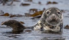 Grey Seal hello (Ian Unwin) Tags: ngc seal wave farne seahouses cute beauty sharp focus sea grey white