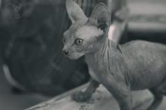 Baby cat. (yuly9751) Tags: shoot shooting serie spynx spynxcat babycat camara canon contraste cute cats gatocalvo photograpy photo proyect portrait blackandwithe blancoynegro beautiful book summer