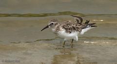 The ongoing search! (Jambo53 (Robert Kok)) Tags: robertkok nikond800 nikkon70300 dutchcaribbean bird vogel wader watervogel nature natuur aves windy earlymorning