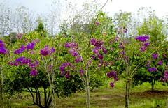 Version 2 Belize spice farm April 2017 (bermudafan8) Tags: 2017 spring break bermudafan8 belize flowers