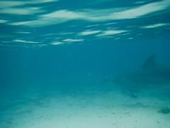 Version 2 dolphin April 2017 Anthony's Key Resort Roatan Honduras (bermudafan8) Tags: 2017 spring break bermudafan8 roatan honduras anthonyskeyresort