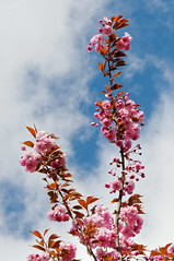 Spring Time! (Johan Konz) Tags: springtime spring flowers blossom outdoor blue sky white clouds cherryblossom flowercluster bright pink pastel serene happiness art tree nikon d90