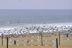 Gulls Rising (AntyDiluvian) Tags: california losangeles la manhattanbeach strand thestrand beach gulls seabirds rising flock volleyballnet