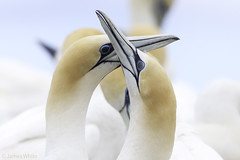 FO8T1604-2 (james white Photo) Tags: gannet australasiangannet pointdanger portland canon mating
