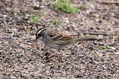 9754 White-throated Sparrow (Zonotrichia albicollis) (andykjordan) Tags: whitethroatedsparrow zonotrichiaalbicollis